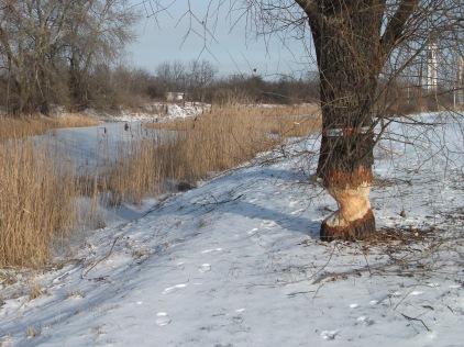 Beaver action