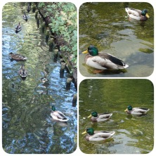 Ducks in Łazienki and Krasinskich